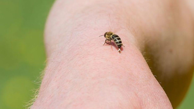 Zastosowanie oraz właściwości jadu pszczelego