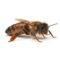 Pszczoła Buckfast