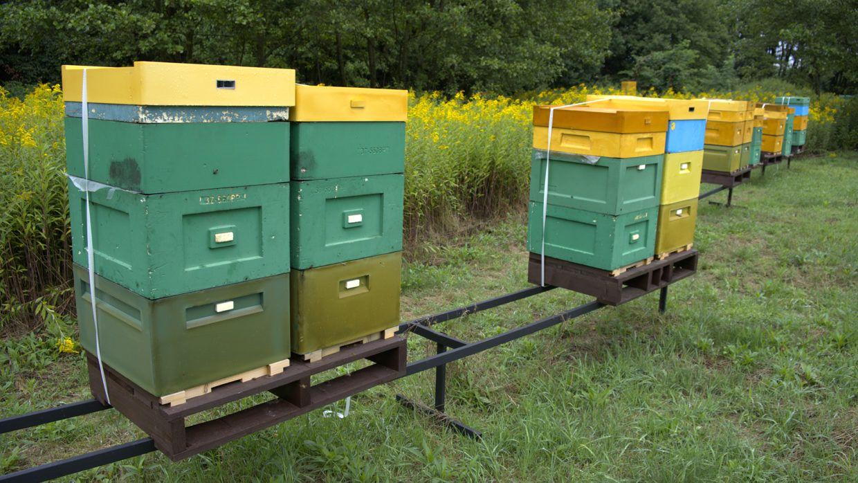 Klimatyzacja w ulach? Pszczoły i upał